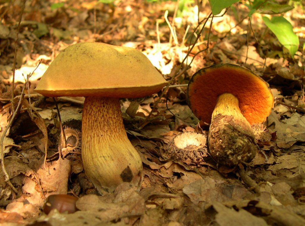 il-mussu-di-voi-nome-scientifico-boletus-luridus